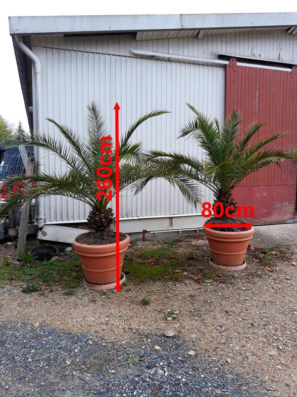 lot de 4 palmiers en pot pour interieur ou exterieur selon. Black Bedroom Furniture Sets. Home Design Ideas